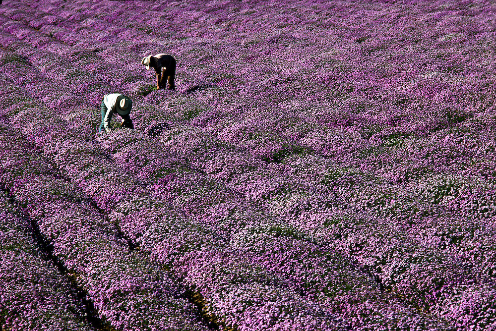 Farming the desert, flower growing is big business in Baja, because of cheap labor in Mexico and a big market in the United States.