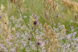 Moeslook, Allium oleraceum
