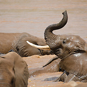 Elephants play in the waters of the Ewaso Ng'iro River in Samburu National Reserve, Kenya.