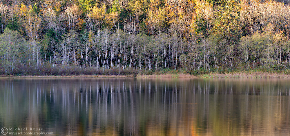 """Alder trunks (Alnus rubra) reflect on the surface of Deer Lake in Sasquatch Provincial Park near Harrison Hot Springs, British Columbia, Canada. Photographed from """"The Point"""" at Deer Lake near the Bench Campground."""