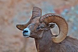 Desert Bighorn Ram, Zion National Park