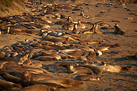 Elephant Seals at Piedras Blancas Beach, Central California Coast. Image taken with a Nikon D3x and 70-300 mm VR lens (ISO 200, 165 mm, f/8, 1/250 sec).