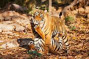 A pair of wild Bengal tiger cubs (Panthera tigris tigris) playing together, Ranthambhore National Park, Rajasthan, India,