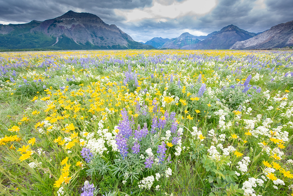 Wildflowers after the fire, Waterton Lakes National Park