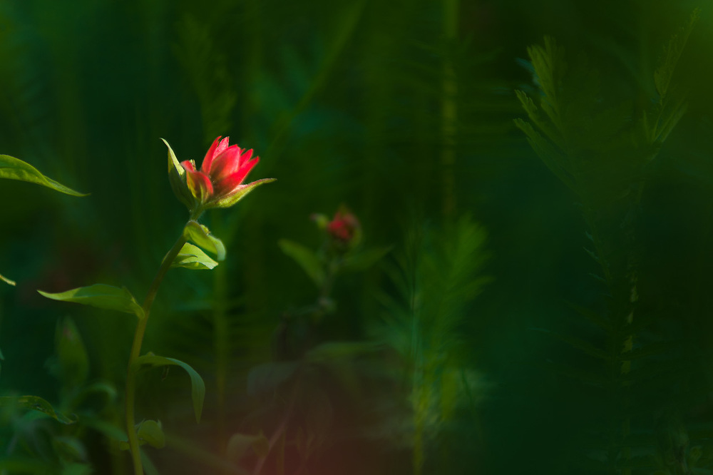 Indian painbrush wildflower (Castilleja species), afternoon light, July, Mount Baker-Snoqualmie National Forest, Snohomish County, Washington, USA