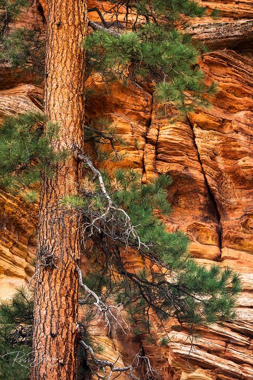 Ponderosa pine and sandstone wall, Zion National Park, Utah USA
