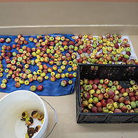 Apples are laid out on a towel in the kitchen of the Aggressive Christianity Missions Training Corps (ACMTC) headquarters in Fence Lake Feb. 27th, 2019.