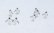 """Gentoo Penguins (Pygoscelis papua) waddle down a snow bank to feed at sea, on an island offshore from the Antarctic Peninsula, Antarctica. An adult Gentoo Penguin has a bright orange-red bill and a wide white stripe extending across the top of its head. Chicks have grey backs with white fronts. Of all penguins, Gentoos have the most prominent tail, which sweeps from side to side as they waddle on land, hence the scientific name Pygoscelis, """"rump-tailed."""" As the the third largest species of penguin, adult Gentoos reach 51 to 90 cm (20-36 in) high. They are the fastest underwater swimming penguin, reaching speeds of 36 km per hour. Published in September/October 2008 Sierra Magazine, Sierra Club Outings."""