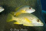 schoolmaster snappers, Lutjanus apodus<br /> in front of pillar coral, Dendrogyra cylindrus<br /> Tavernier, Key Largo Florida Keys ( Western Atlantic )<br /> Florida Keys National Marine Sanctuary