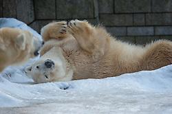 04.01.2011, Wuppertal, GER, Outdoor, Zoo  . im Bild der Eisbaer Lars aus dem Wuppertaler Zoo beobachtet seine neue Partnerin Vilma aus der Rueckenperspektive...Foto © nph Freund       ****** out ouf GER ******
