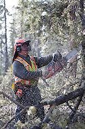 Photo Randy Vanderveen.Grande Prairie, Alberta.John Crosina, a faller working with Dave MacNolty a horse logger, uses a chain saw to fall, delimb and buck pine trees infected by Mountain Pine Beetle. He will also cut skit trails if needed. The experience feller had no problem keeping both MacNolty and fellow horse logger Bill Smith busy.