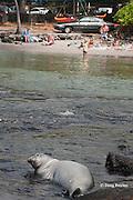 Hawaiian monk seal, Monachus schauinslandi ( Critically Endangered endemic species ), rests in shallow water just across from sunbathers at public beach, Pu'uhonua o Honaunau ( City of Refuge ) National Historical Park, Kona, Hawaii ( Big Island ) ( Central Pacific Ocean )