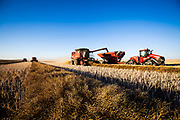 Hiltons harvesting canola near Strathmore, Alberta, October 22, 2018. Photograph by Todd Korol