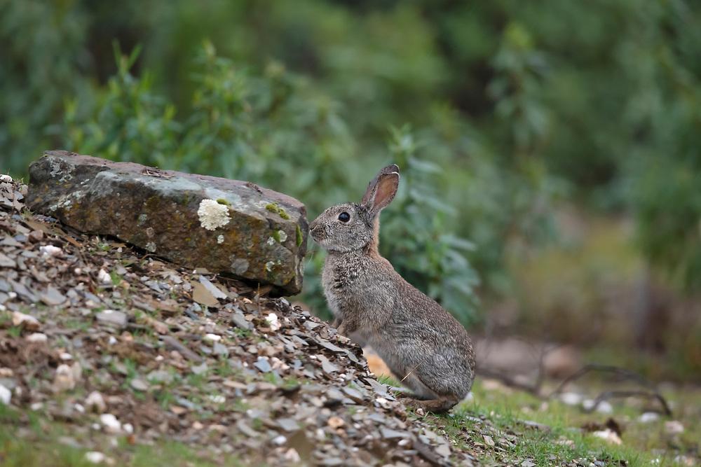 Wild European rabbit, Oryctolagus cuniculus, Sierra de Andujar, Andalucia, Spain