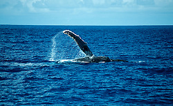 Megaptera novaeangliae, Mit Brustflosse winkender Buckelwal, finwaving humpback whale, Tonga, Polynesien, Polynesia