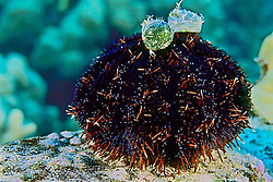 Collector sea urchin, Tripneustes gratilla, camouflaged with sailor's eyeball or sea pearl, Valonia ventricosa (green algae), Kona Coast, Big Island, Hawaii, Pacific Ocean