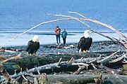 Alaska, Homer. Beach combers watch a pair of Bald Eagles.