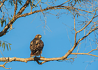 A Red-tailed Hawk, Buteo jamaicensis, perches in a tree in Sacramento National Wildlife Refuge, California