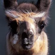 Llama, (Lama peruana) Portrait. Llama ranch, Bridger Canyon in Southwest Montana
