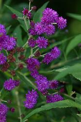 purple wildflowers found in the forest at Matthiessen State Park near Utica Illinois.
