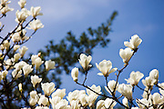 Magnolia tree in the Yu Gardens, Shanghai, China