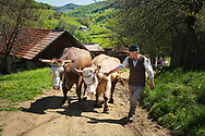 Farmer and his Oxen, Brasov, Romania