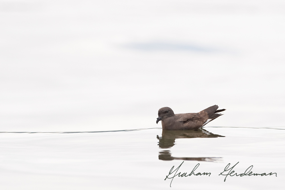 A Band-rumped Storm-Petrel rests on the waters of Pickwick lake in Southern Tennessee. A very rare, always storm-driven vagrant, this small pelagic bird was blown up to Tennessee by Hurricane Laura in August, 2020.