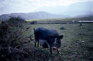 Pig in a field. Area of Binh Lu close from Sapa