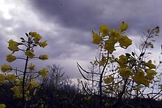 MAY 18 2000 Oilseed rape field in Newport, Essex