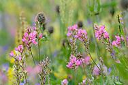 Blumenwiesen und Blüten mit vielen Klappertöpfe (Rhinanthus; hellgelb) und Saat-Esparsette (Onobrychis viciifolia, rosa) an einem Frühlingstag im Juni an den Südhängen oberhalb des unterengadiner Dorfes Sent