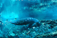 Florida manatee, Trichechus manatus latirostris, a subspecies of the West Indian manatee, endangered. An adult manatee swims in the blue water of a freshwater sprighead. There are propeller scars on its body. The manatee is joined by mangrove snapper, Lutjanus griseus, and bream, Lepomis spp. Horizontal orientation, blue water and soft sun rays. Three Sisters Springs, Crystal River National Wildlife Refuge, Kings Bay, Crystal River, Citrus County, Florida USA.