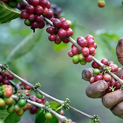 Coffee, Guatemala