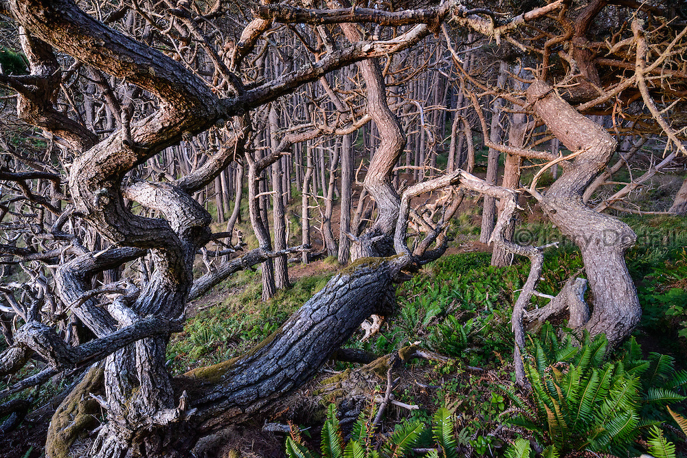 Bishop Pine trees sculpted and shaped by coastal wind and weather sit atop a bluff in Salt Point State Park in Sonoma County, Northern California.