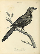 Splendid Crow  Copperplate engraving From the Encyclopaedia Londinensis or, Universal dictionary of arts, sciences, and literature; Volume V;  Edited by Wilkes, John. Published in London in 1810