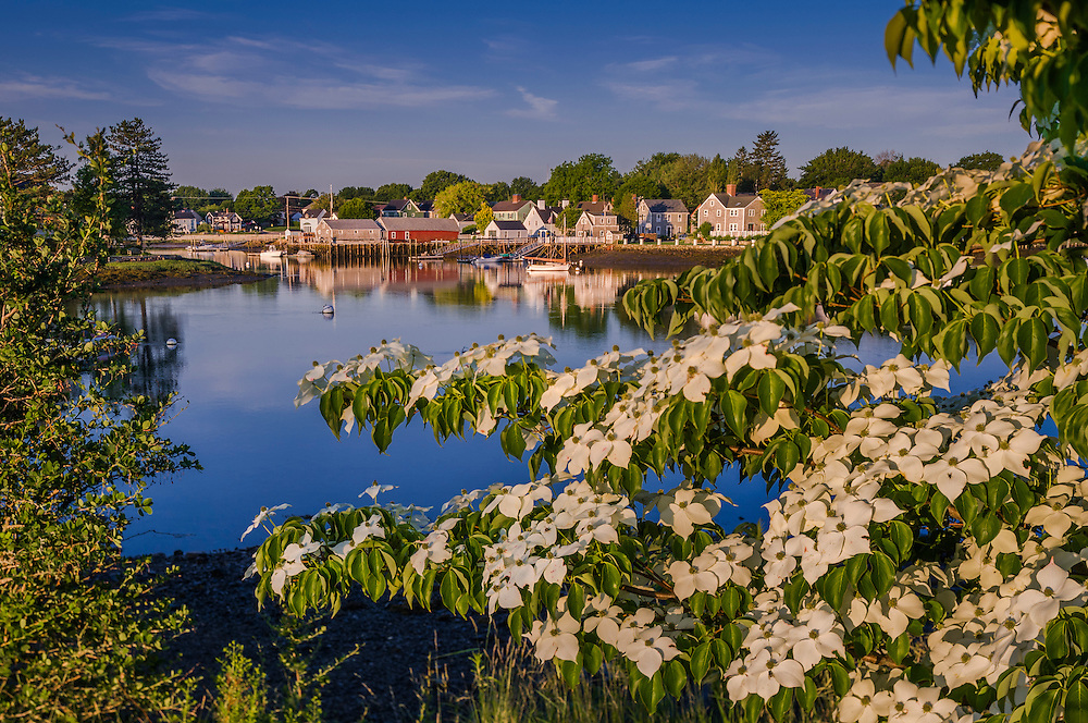 Ornamental Dogwood tree in bloom and harbor shoreline with reflections, Portsmouth, NH
