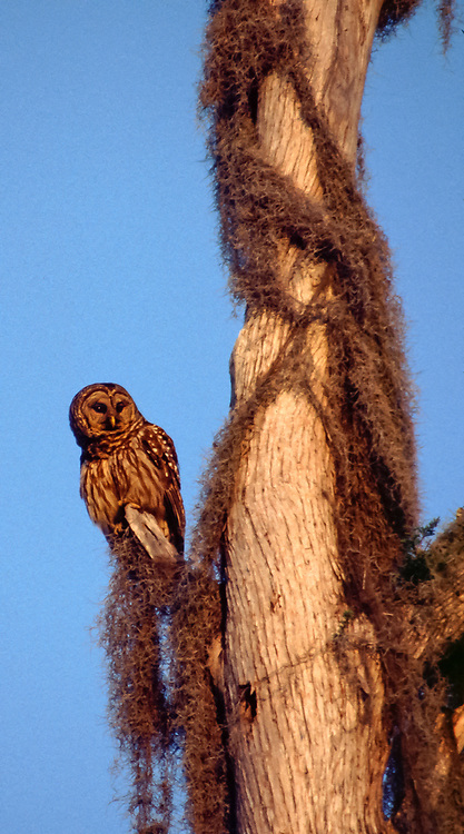 Panoramic of owl pearched on branch with spanish moss and blue sky