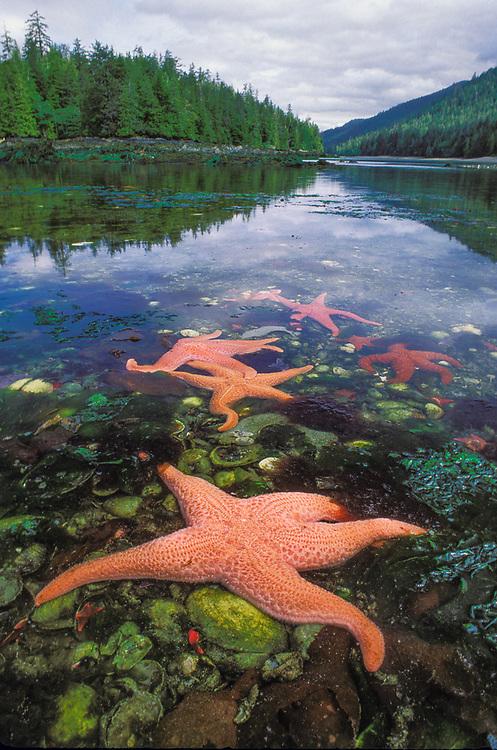 Sunstar, Haida Gwaii, Britisih Columbia, Canada