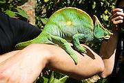 Madagascar, Globe-horned Chameleon (Calumma globifer)