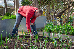 Sowing a catch crop - for instance lettuce - between garlic in the vegetable garden