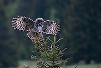 Great grey owl (Strix nebulosa) landing in spruce tree, Bergslagen, Sweden.