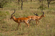 Male impala (Aepyceros melampus) grazing. Only the male possesses the s-shaped horns. Photographed at Serengeti National Park, Tanzania.