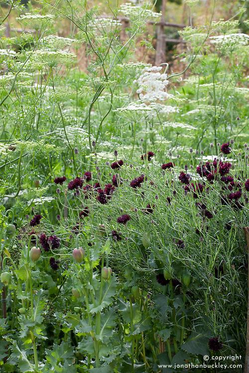 Ammi majus with Centaurea cyanus 'Black Ball',  black cornflower.