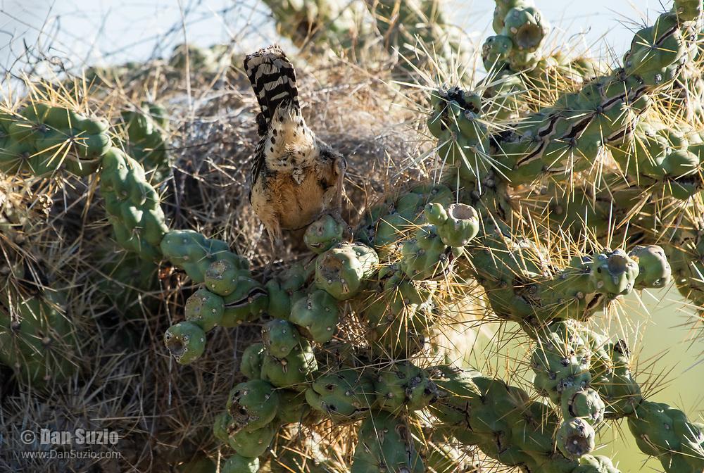 Cactus Wren, Campylorhynchus brunneicapillus, enters its nest in a cholla cactus in Saguaro National Park, Arizona