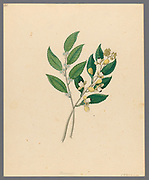 Rhamnus [Curtisia dentata] (1817) (commonly known as the Assegai tree or Cape lancewood) from a collection of ' Drawings of plants collected at Cape Town ' by Clemenz Heinrich, Wehdemann, 1762-1835 Collected and drawn in the Cape Colony, South Africa