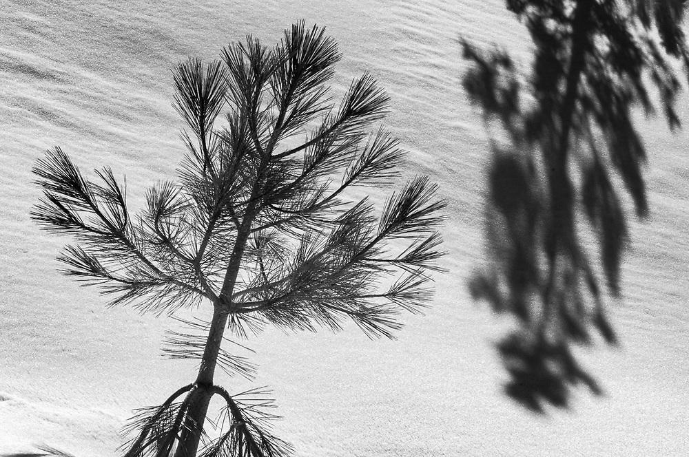 Ponderosa pine (Pinus ponderosa),   afternoon shadow, April, Inyo National Forest, Eastern Sierra, California, USA