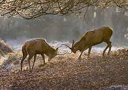 © Licensed to London News Pictures. 22/01/2021. London, UK. Deer lock antlers at first light in a chilly Richmond Park in south west London. Storm Christoph has brought more flooding across England and Wales this week. Photo credit: Peter Macdiarmid/LNP