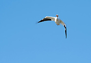 White Pelican, Pelecanus erythrorhynchos