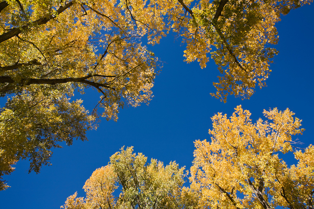 Looking up at Cottonwood trees.