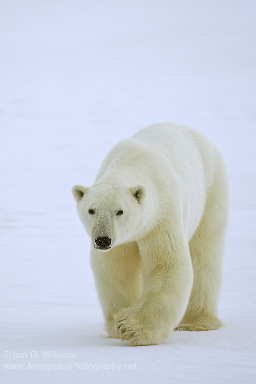 Walking over the frozen ice in the high Arctic in Canada, an adult polar bear approaches closely.  The size of his paw provides a good indication to the power that this bear has at its disposal
