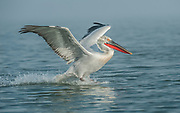 Dalmatian Pelican, Pelecanus crispus, in Breeding Plumage, Kerkini Lake, Greece, Vulnerable IUCN Red List 2007 and on Appendix I of CITES, in flight, landing on water